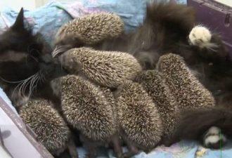 Кошка и ежата