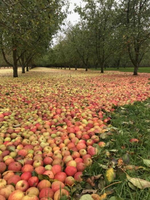 Жители Ирландии увидели ковер из настоящих яблок